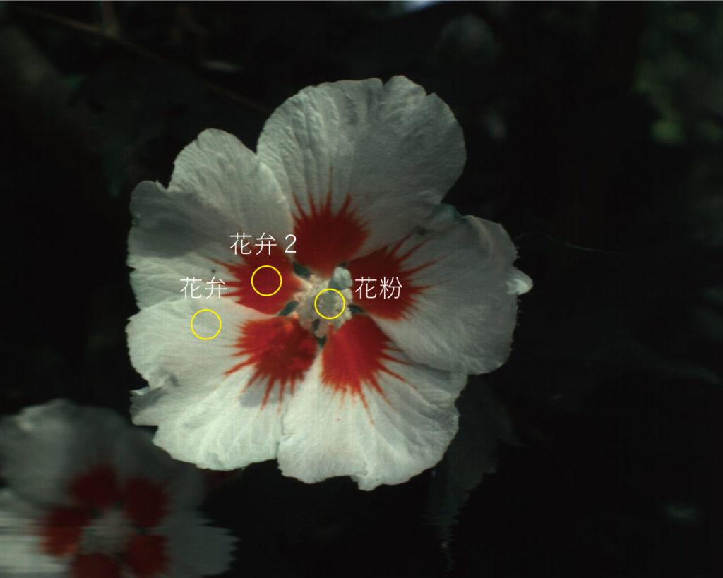 花とハイパースペクトルカメラ